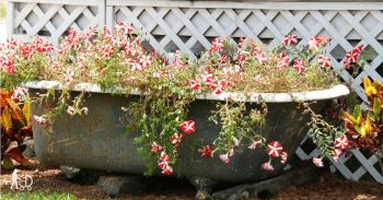 Old metal bath tub full of red flowers in a garden